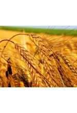 Масло Зародышей пшеницы нерафинированное 50мл